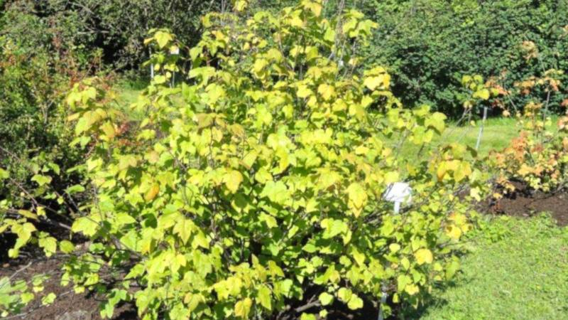 Желтеют листья у смородины в июне – что делать?