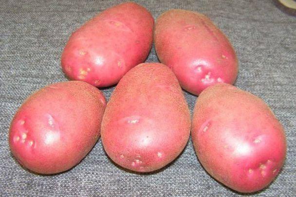 Картофель родриго: описание сорта, характеристика, достоинства, отзывы, фото