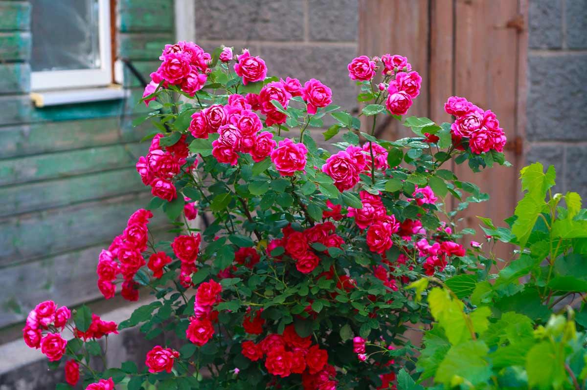 Кустовые розы: уход и выращивание, размножение и обрезка роз, фото кустовых роз
