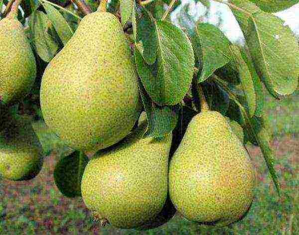 Особенности выращивания груш в сибири