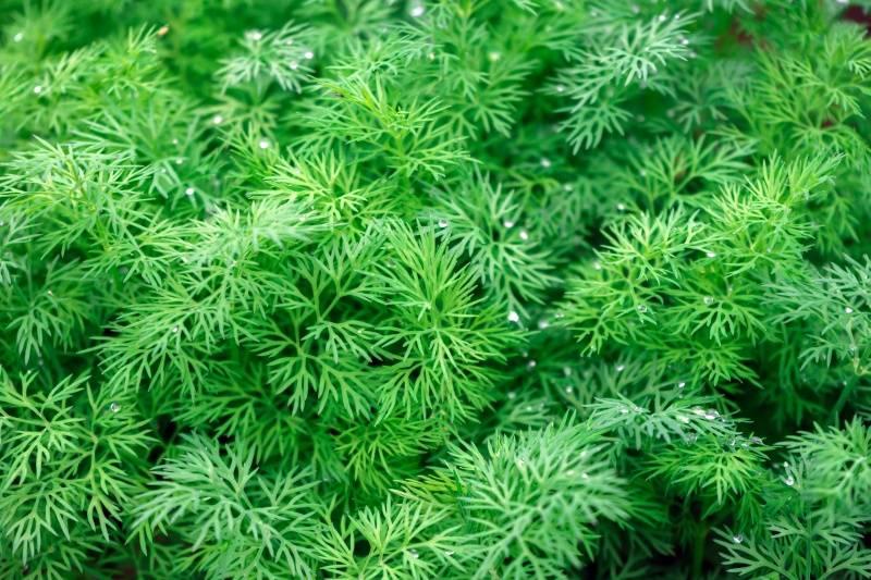 Укроп на подоконнике: выращивание зелени в домашних условиях