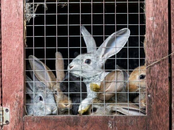Роды крольчихи: как проходит окот и что делать в домашних условиях