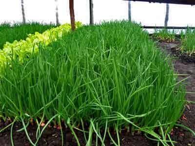 Выращивание лука на зелень: от подоконника до гидропоники!