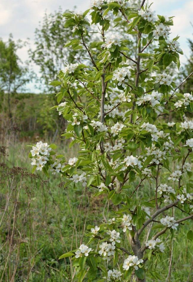 Груша маршал жуков описание сорта фото отзывы — огород и прочее