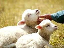 Кормление овец зимой: нормирование корма, сено, зерно, корнеплоды