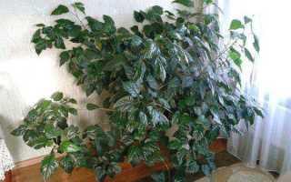 Гибискус махровый: описание сортов и особенности выращивания