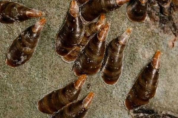 Вредители комнатных растений - как избавиться от щитовки хим. препаратами и народными средствами