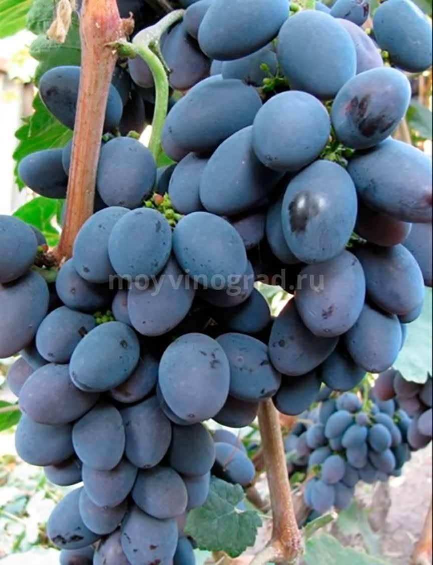 О винограде дружба: описание и характеристики сорта, посадка и уход