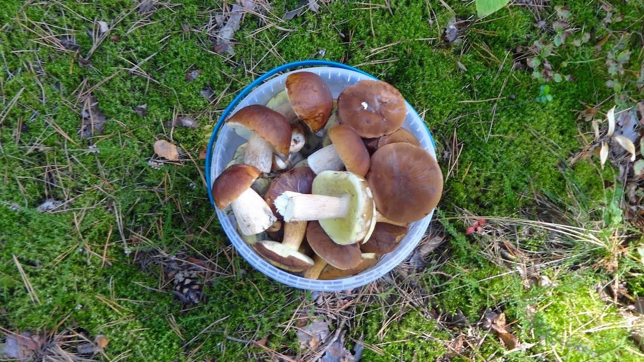 Луговые опята (marasmius oreades): фото, описание, как готовить грибы и как отличить их от ложных двойников