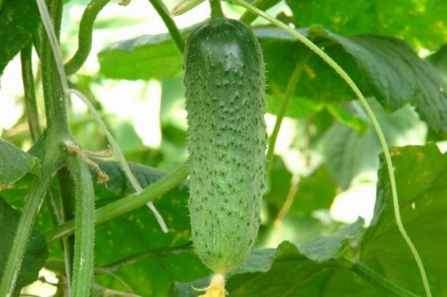 Огурцы сорта хрустик f1: особенности выращивания, описание и характеристика, фото