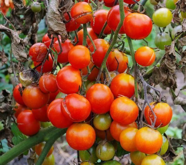 Чем опрыскать помидоры после дождя