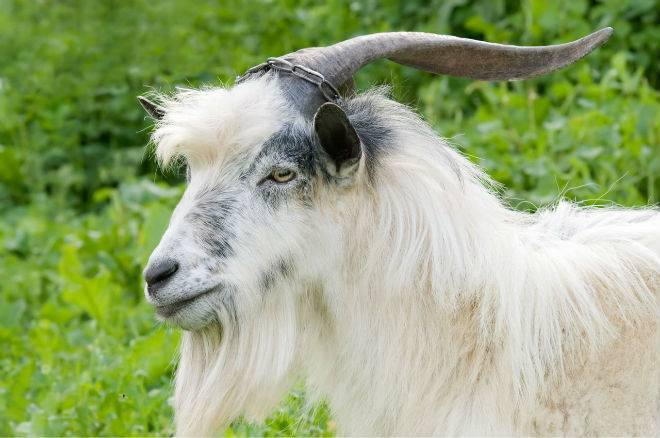 Как кастрировать козла: способы, описание