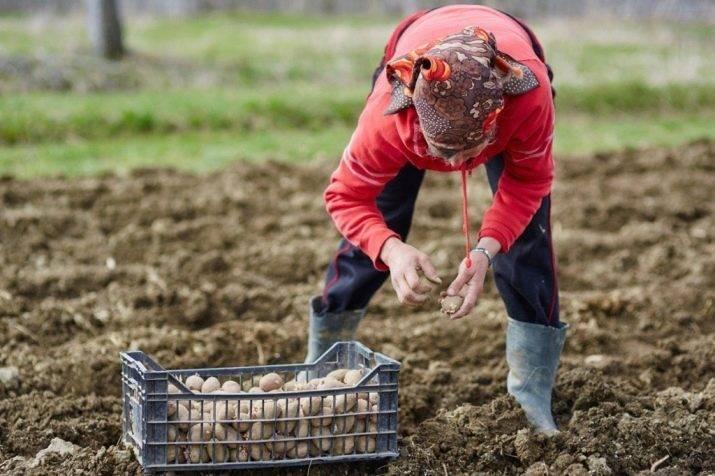 Выращиваем кабачки правильно. посадка и уход в открытом грунте