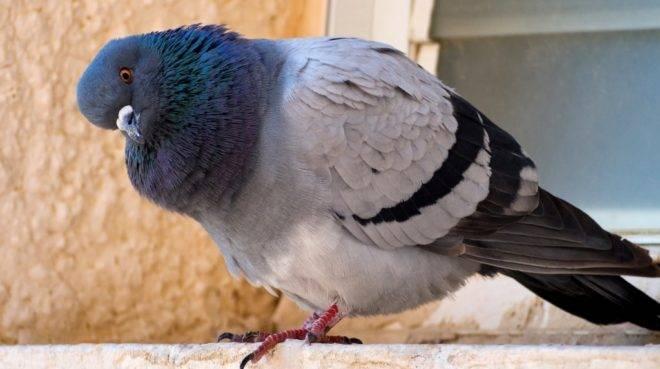Вакцина ла сота для голубей: применение, как разводить