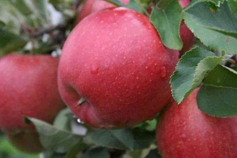 50 фото и описание яблони «хани крисп», ? посадка, уход, ее полезные свойства и противопоказания