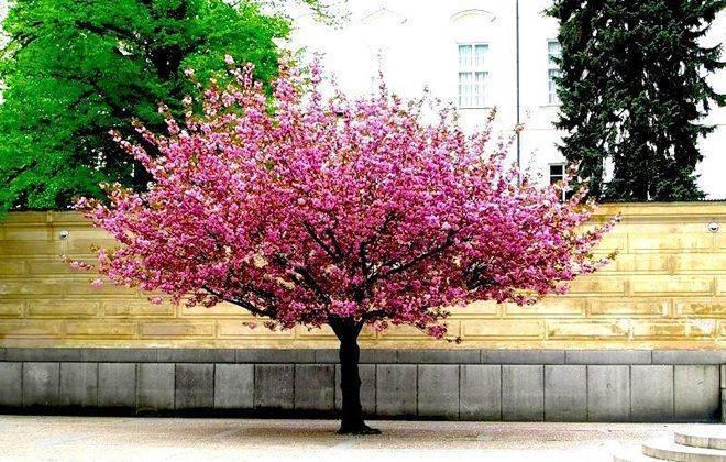Яблоня недзвецкого: описание, посадка и уход за декоративным деревом