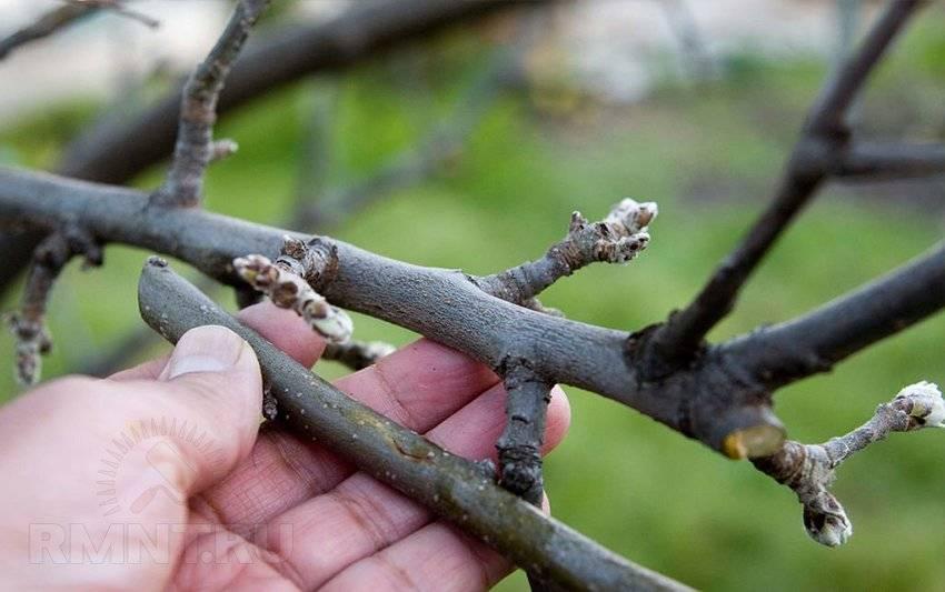 Как привить яблоню: сроки и пошаговая инструкция для начинающих