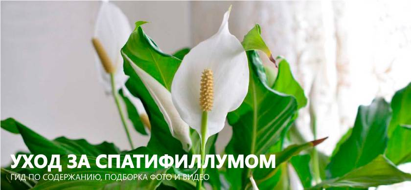 Эффективная подкормка для спатифиллума - удобряшкин.ру