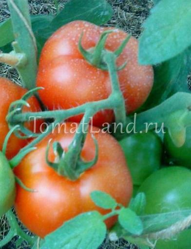 ✅ о томате лабрадор: описание сорта, характеристики помидоров, посев - tehnomir32.ru