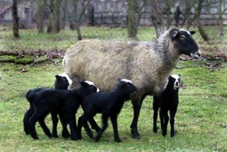 Описание овец катумской породы - мыдачники