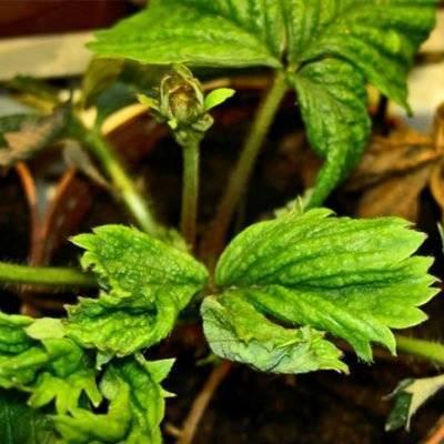 Нужно ли обрабатывать садовую землянику осенью: сроки, правила, средства