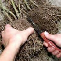 Размножение пионов: делением куста, черенками, семенами и отводками