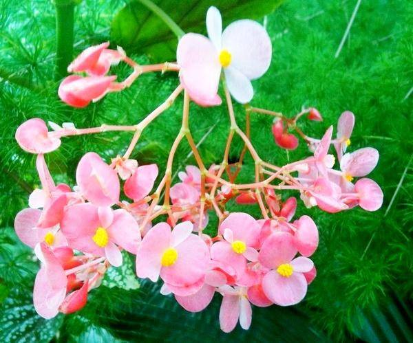 Бегония элатиор: уход в домашних условиях, фото растения, размножение листом и черенками, когда пересаживать после покупки, как содержать зимой?