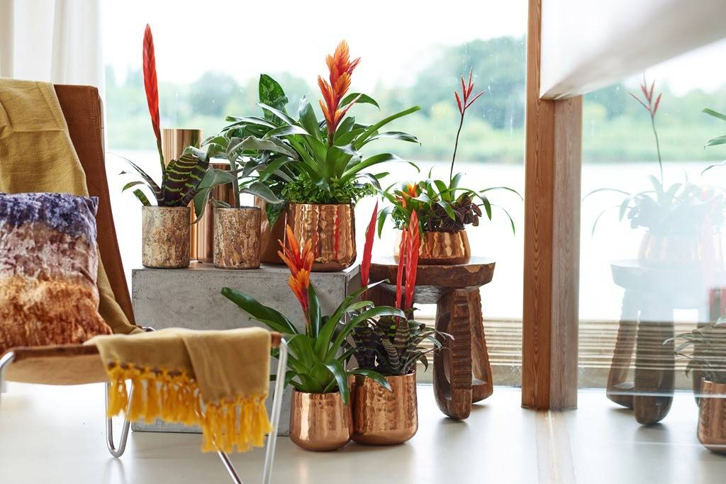 Тропическая красавица бромелия: уход в домашних условиях
