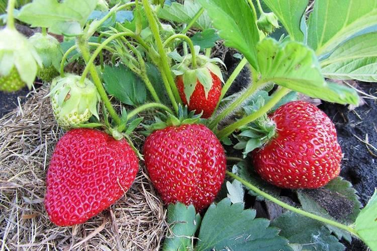 Клубника зефир: описание сорта, характеристика и выращивание, видео и фото
