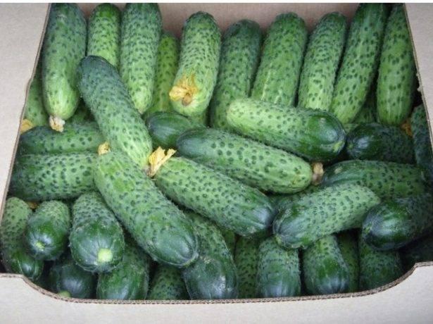 Превосходный салатный сорт с хрустящими плодами — огурец хрустляндия f1: отзывы и описание