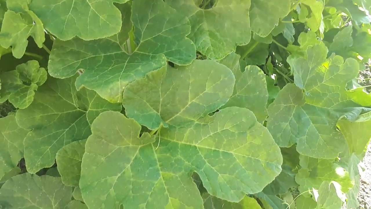 Все о тыкве фиголистой: как выглядит, описание сорта, секреты выращивания