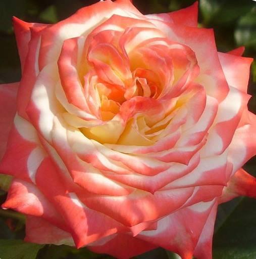 Истинная королева цветов – роза императрица фарах. описание и фото растения, советы по размножению и уходу