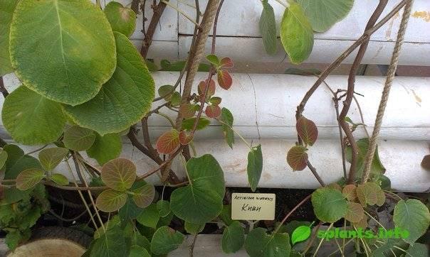 Киви или актинидия. выращивание и плодоношение дома.