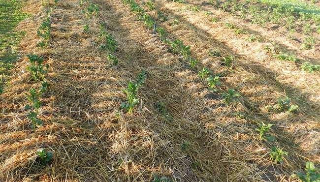 Выращивание картофеля по методу кизимы: правила посадки и ухода
