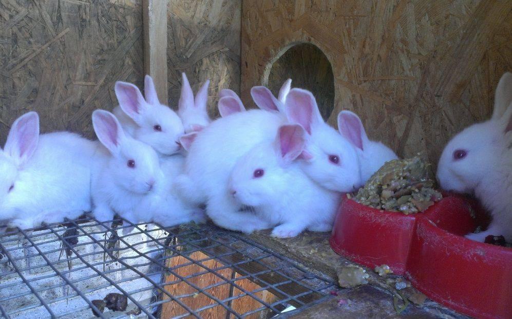 Белый кролик паннон