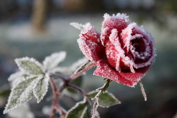 Когда и как правильно укрывать розы на зиму: сроки и способы
