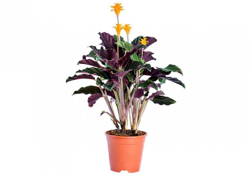 Калатеи, комнатные цветы: варшевича, лансифолия, сандериана, орбифолия...