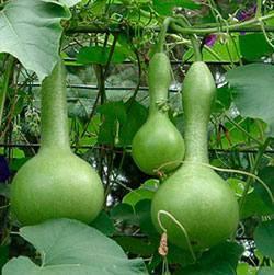 Лагенария фото, выращивание, посадка, грунт, описание растения