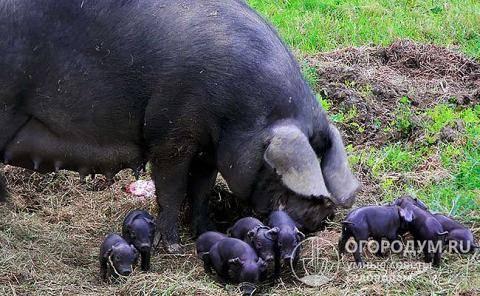 Крупная белая — свиноводство -> породы свиней