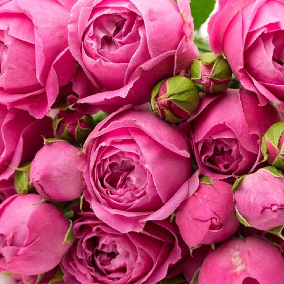 Цветок невероятной красоты — пионовидная роза! фото, сорта и инструкция по уходу