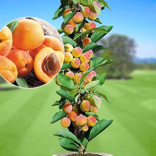 Колоновидный абрикос посадка и уход