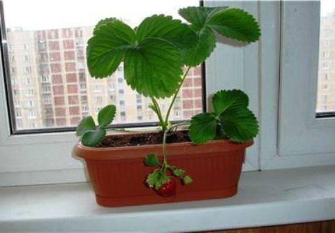 Клубника на подоконнике: возможно ли выращивание круглый год