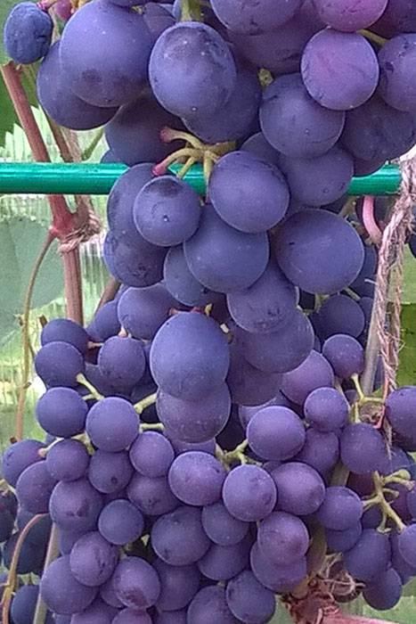 16 лучших сортов винограда для подмосковья и средней полосы. описание. урожайность. фото — ботаничка.ru