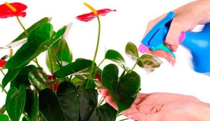 Цветение антуриума — всё от а до я. фото и видео. selo.guru — интернет портал о сельском хозяйстве