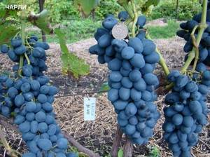Виноград чарли : что нужно знать о нем, описание сорта, отзывы