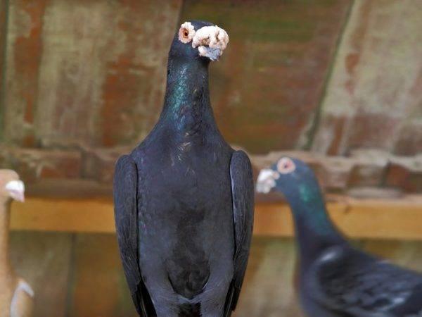 Торцовые голуби: описание, породы, лет, фото и видео