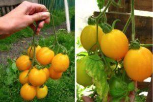 """Томат """"груша красная"""": описание сорта, фото, особенности выращивания отличного урожая помидор русский фермер"""