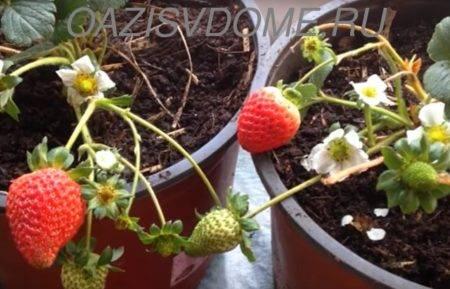 Как вырастить клубнику дома на подоконнике: посадка и выращивание пошагово с видео