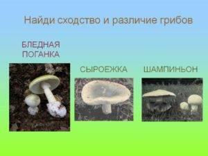 Сходство бледной поганки и шампиньона: сравнение, чем отличается