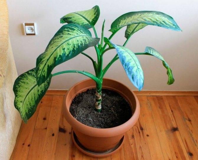 Цветок «Диффенбахия»: описание, фото, уход в домашних условиях